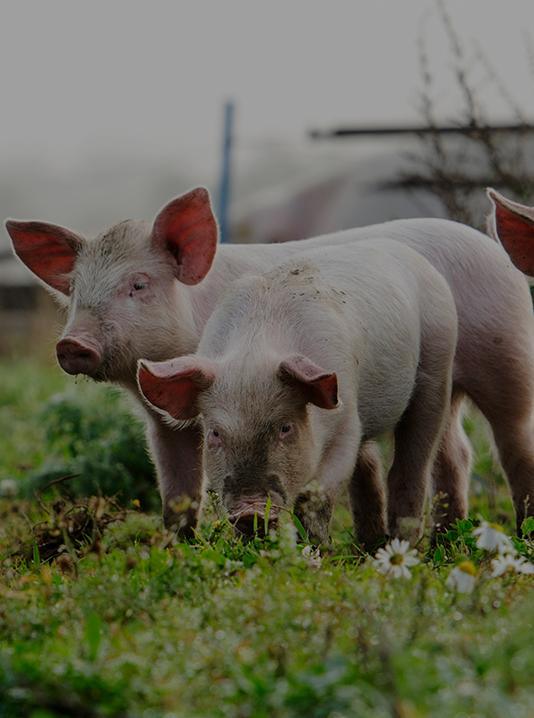 Productos porcino